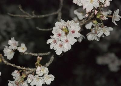 Fleurs de cerisiers japonais by night