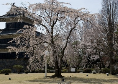 Jeune cerisier japonais en fleur