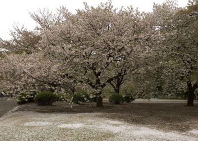 Le jardin de Shinagawa sous les pétales