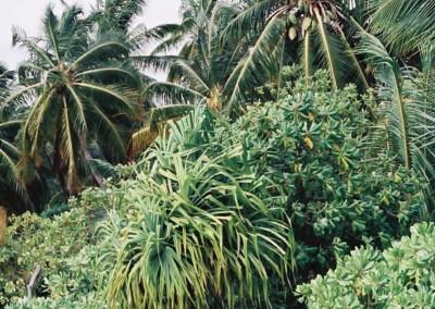 Vegetation aux Maldives