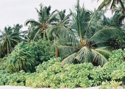 Vegetation sur une plage des Maldives