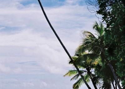 Cocotier aux Maldives