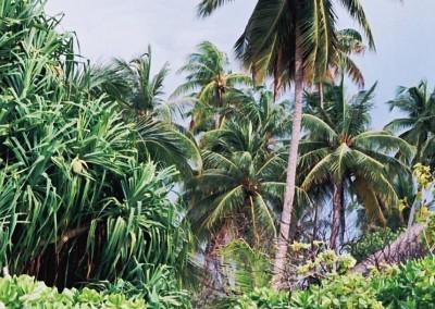 Le rivage et les cocotiers des Maldives