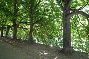arbres de l allee des cygnes