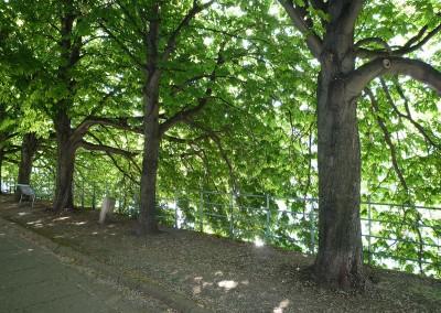 Les arbres de l allee des cygnes