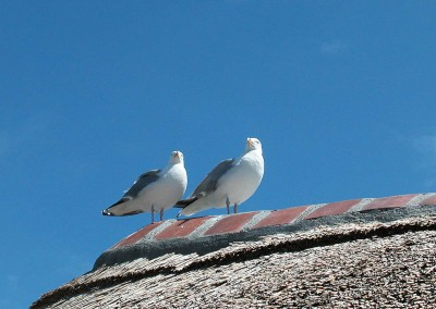 Mouettes amoureuses