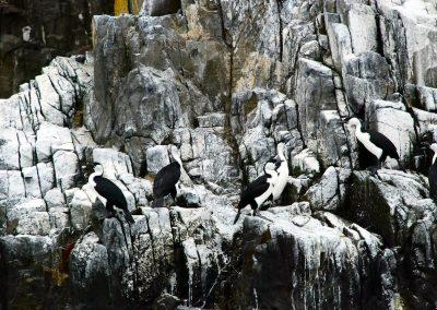 Les oiseaux au large d'Hobart