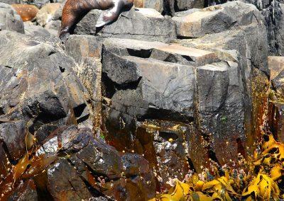 Lions de mer au large d'Hobart