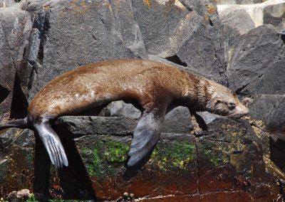 La sieste d'un lion de mer en Tasmanie