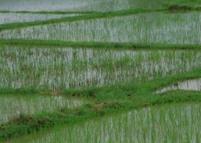 Rizières du Vietnam