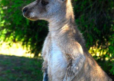 Rencontre avec un kangourou australien