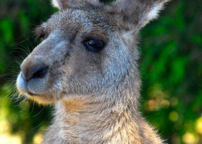 Face-à-face avec un kangourou