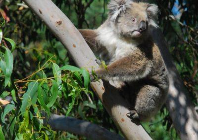 Le koala : animal emblématique de l'Australie