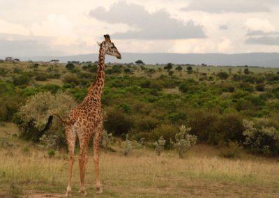 Rencontre avec une girafe