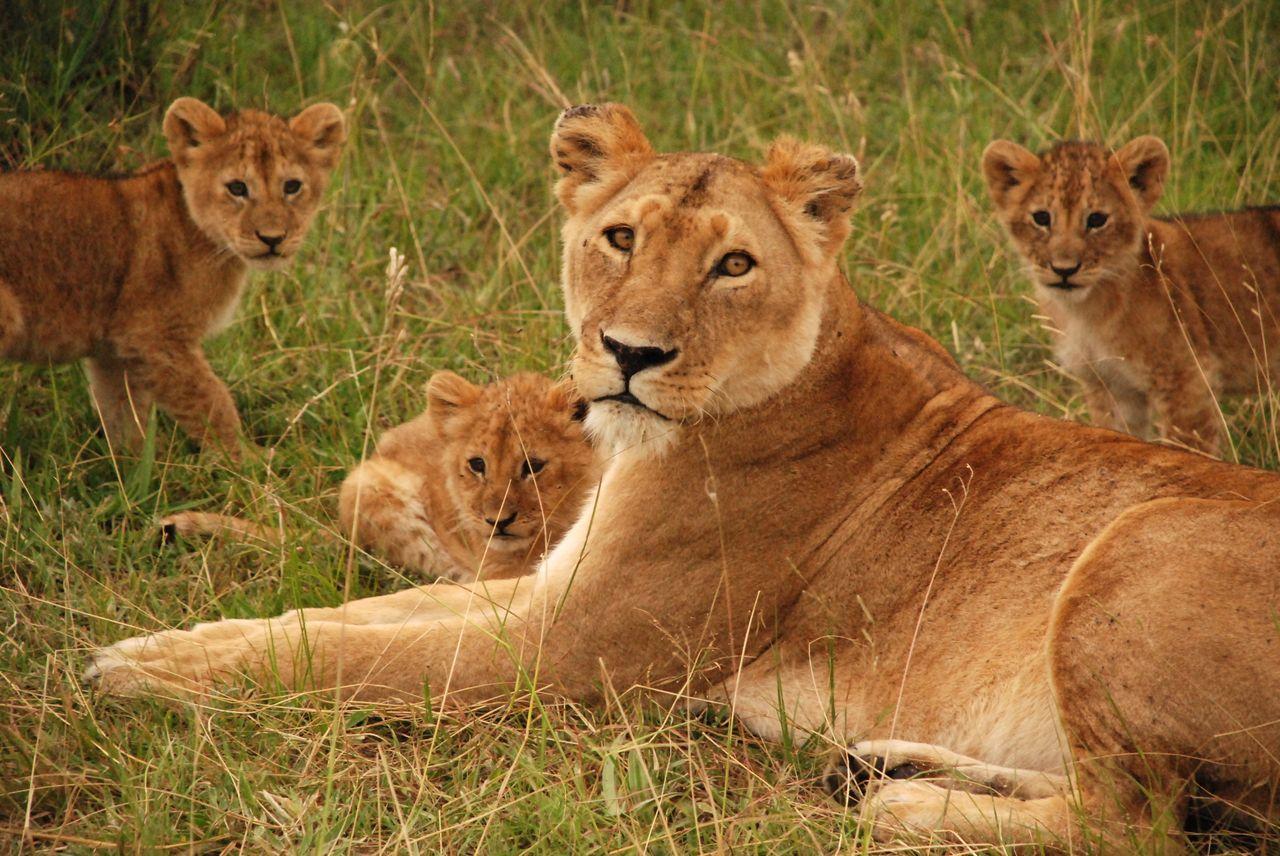 Lionne au Kenya