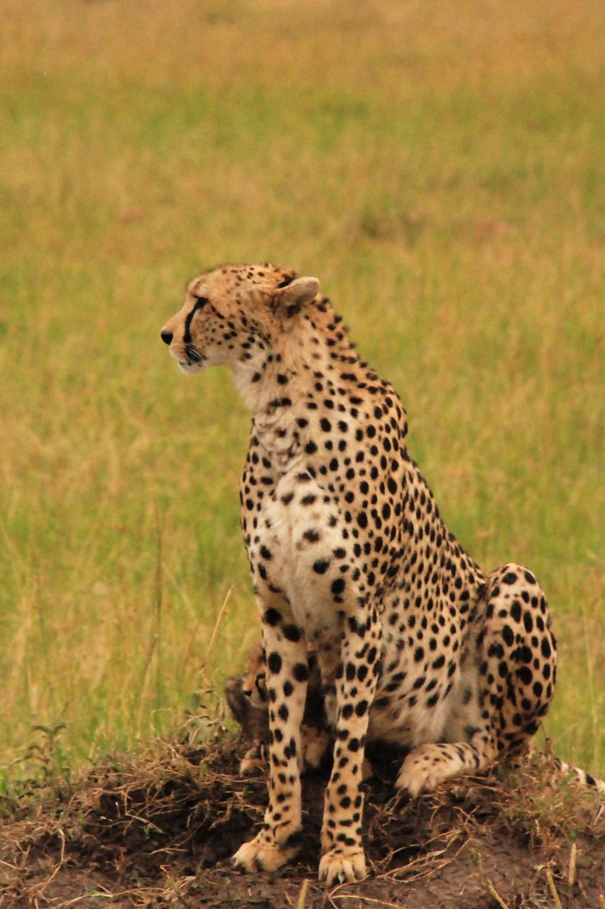 Guépard au Kenya