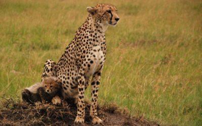 Safari au Kenya dans les parcs naturels de Tsavo, Masaï Mara et Amboseli : éléphants, girafes, lions et guépards sauvages