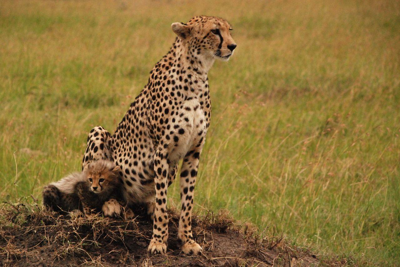 Femelle guépard et son petit