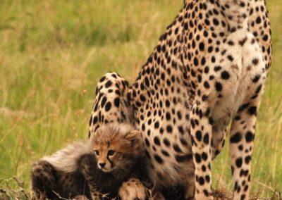 Les guépards au Kenya