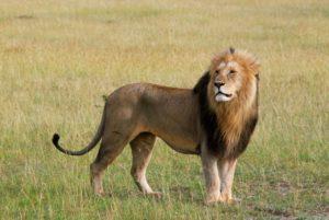 Rencontre avec un lion