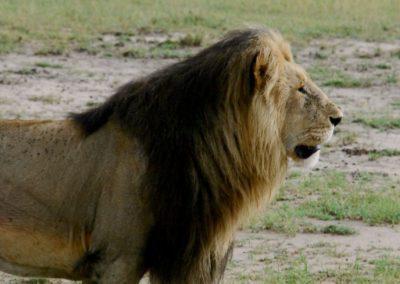 Un lion au Kenya