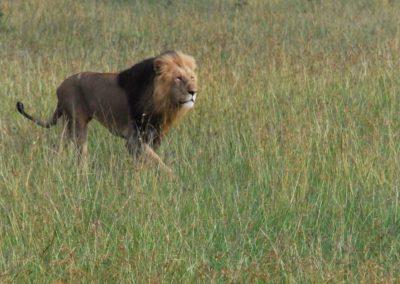 Lion dans la savane kényane
