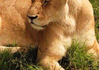 Une lionne au Kenya